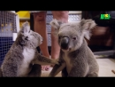 Герои среди нас Крайки коала доктор