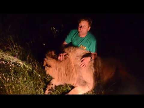 ЭКСТРИМ ВИДЕО Ночь в Саванне КОРМИМ ЛЬВОВ Feeding lions in the dark