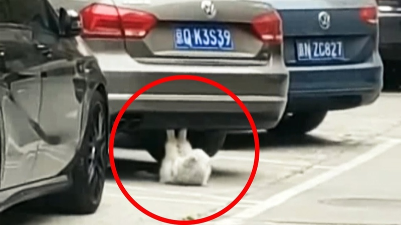 Cat Performs Sit-ups Underneath Car in China