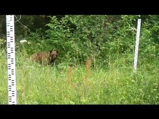 Медведь на Столбах