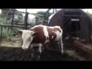 Корову бесоёбит под Levitate! (TwentyOnePilots)