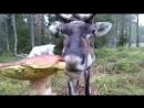 северный олень ест гриб