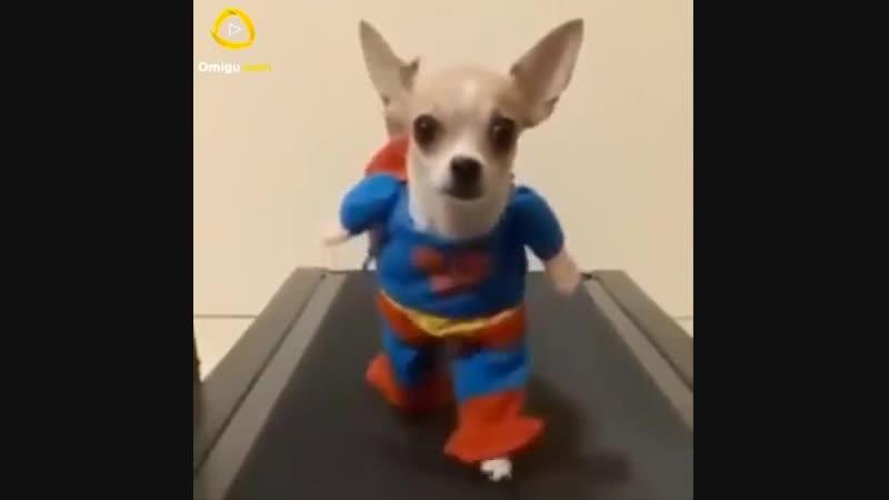 Смешное видео про собак хорошее настроение юмор смешное домашнее видео полиция погоня пес бандит Супермен Суперпёс