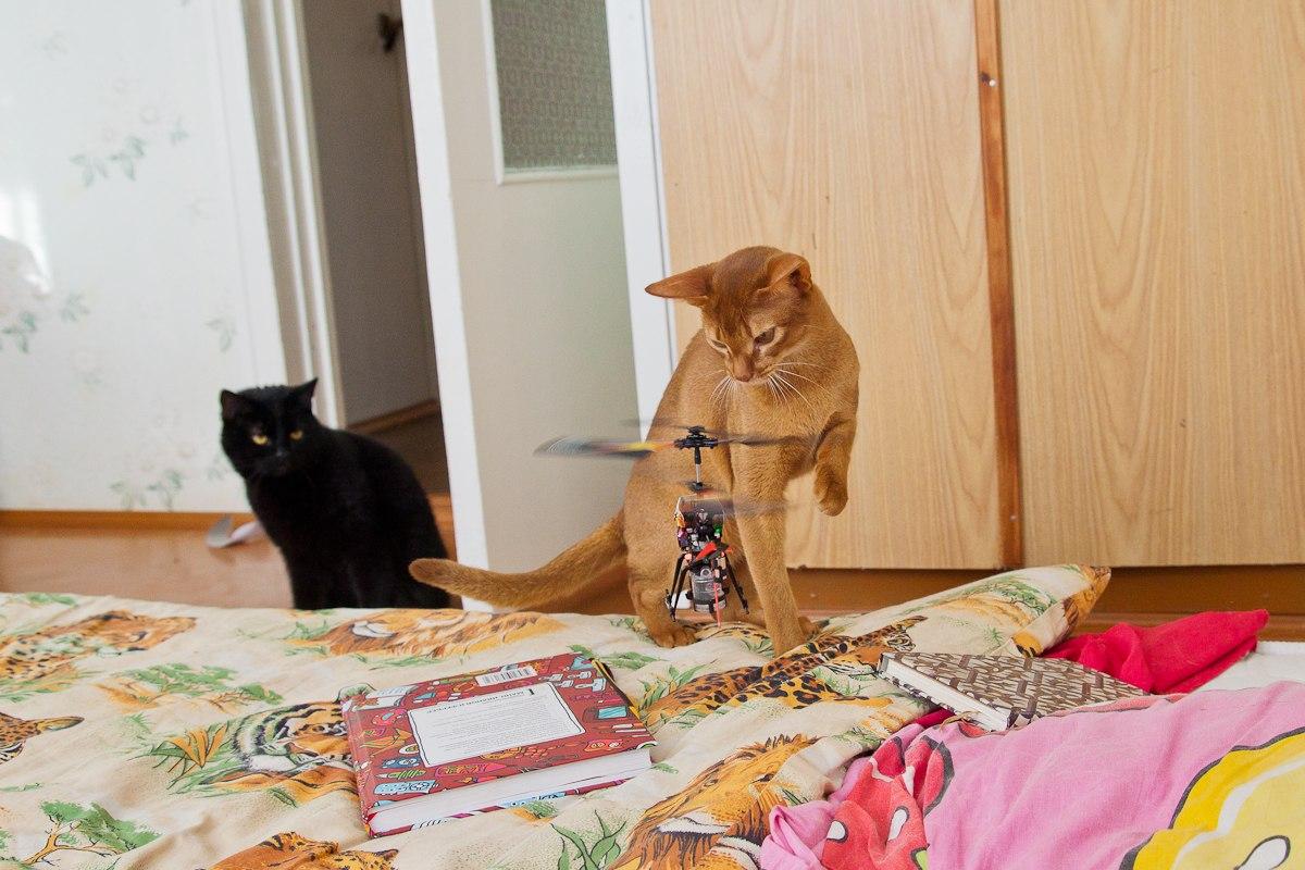 питомник абиссинских кошек, характер абиссинцев