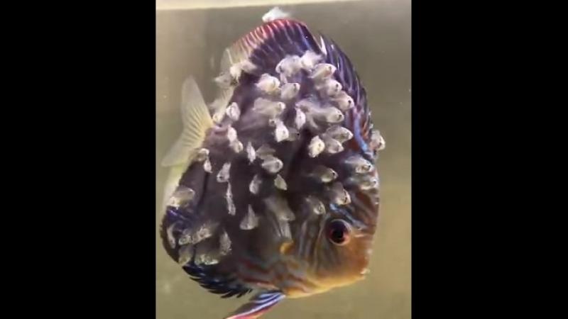 Рыба дискус и её дискусята