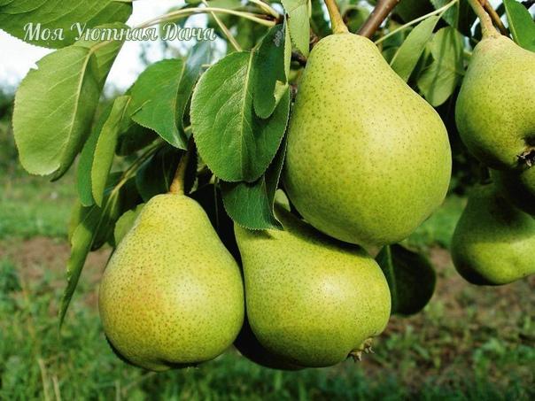 Возрождаем старую грушу Если в вашем саду растет вкусная и сладкая груша, но само деревце уже старое, попробуйте его омолодить.1. Не спиливайте основной ствол дерева, оставляя лишь поросль у ее