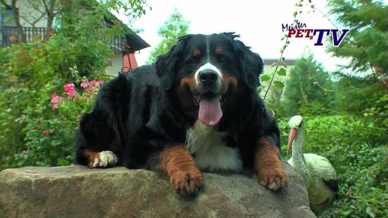 Berner Sennenhund: Informationen zur Rasse » Freewka.com - Смотреть онлайн в хорощем качестве