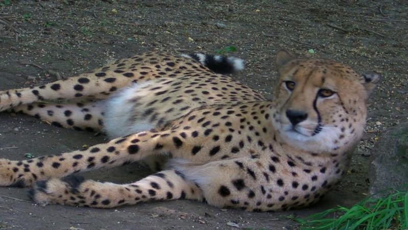 Гепард Acinonyx jubatus Beo Zoo Vrt Belgrade Zoo Zoran B Rajic