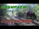 Тихая охота.Сбор грибов.Подосиновики в сентябре.Девушки в лесу.Грибы в Калужской области.
