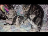 Мраморная семейка - котята на продажу.