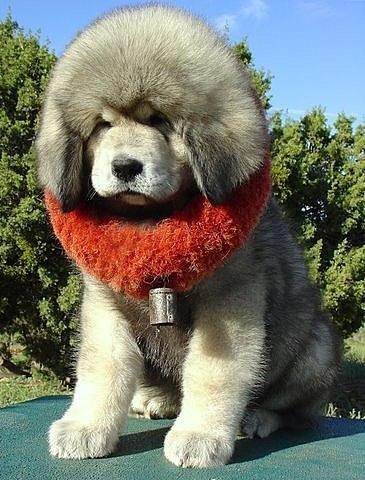 Щенок тибетского мастифа.