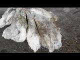 На Камчатке нашли останки необычного волосатого животного