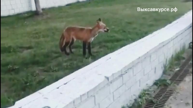 Выксавкурсе.рф: лисичка в Выксе