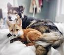 Лисица по имени Джунипер с самого рождения живёт с людьми.