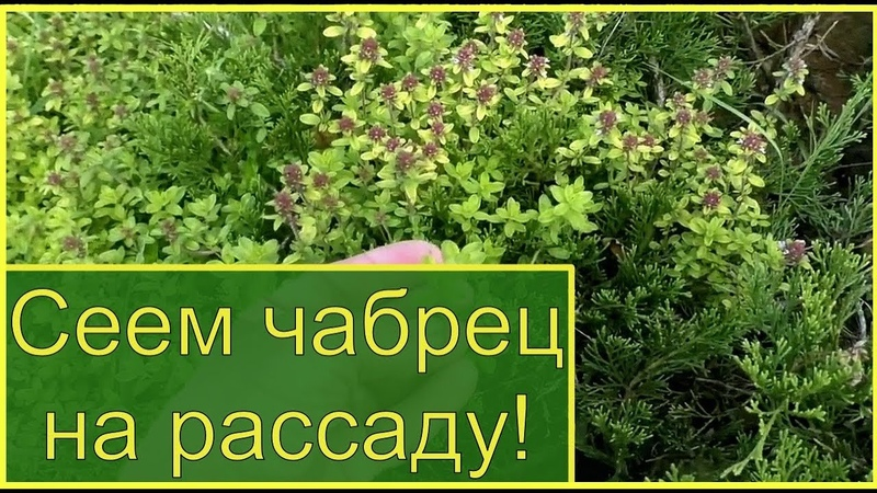 Как вырастить тимьян из семян? Чабрец ползучий посев на рассаду и чай с чабрецом.