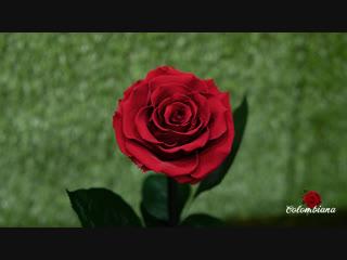 Роза в колбе king size от colombiana