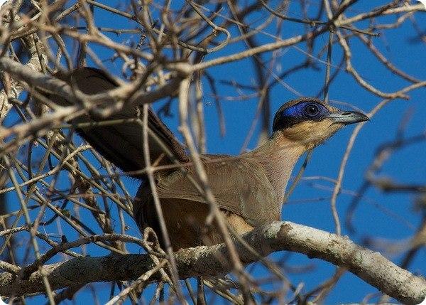 Как видно из названия, хохлатые мадагаскарские кукушки (лат. Coua ruficeps) – эндемики Мадагаскара. Эти средних размеров птички, вырастающие до 40-44 см в длину, обитают на... #zoopicture #Птицы #Зоопарк #Птицы