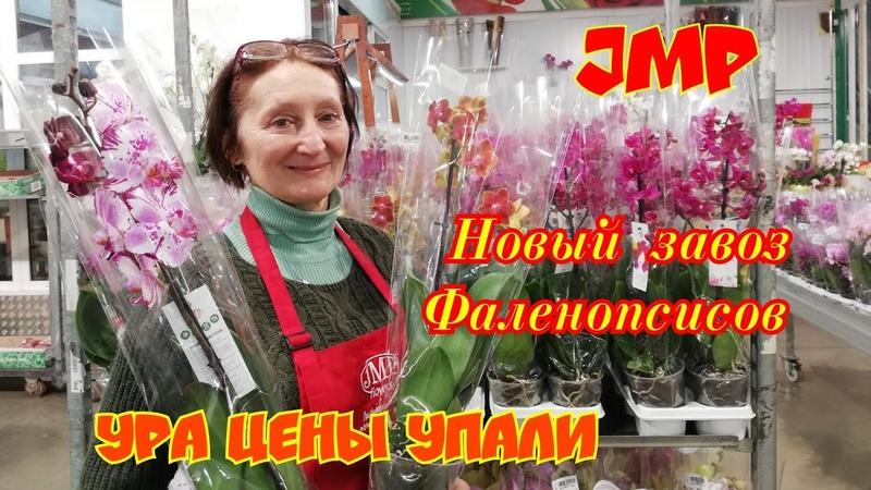 Орхидеи Фаленопсисы в JMP Каменная Роза и Мэджик Арт 2в1 Опять привезли сортовичков