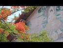 Lao Flame Tree - Delonix Regia