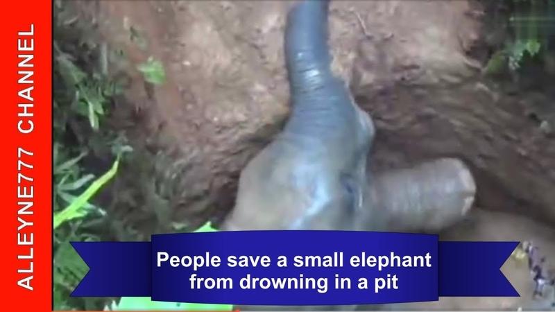 Люди спасают маленького слоненка из затопленной ямы. Удивительный пример человечности! » Freewka.com - Смотреть онлайн в хорощем качестве