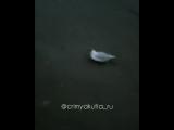 Парализованные чайки в Якутии