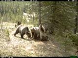 Что делают медведи в лесу, когда думают, что за ними никто не следит. Кадры скрытой камеры наблюдения, установленной в одном из национальных парков Канады.