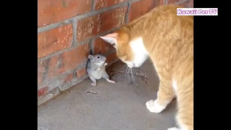 死んだふりにして猫を騙したネズミが超賢い・現実トムとジェ 12522