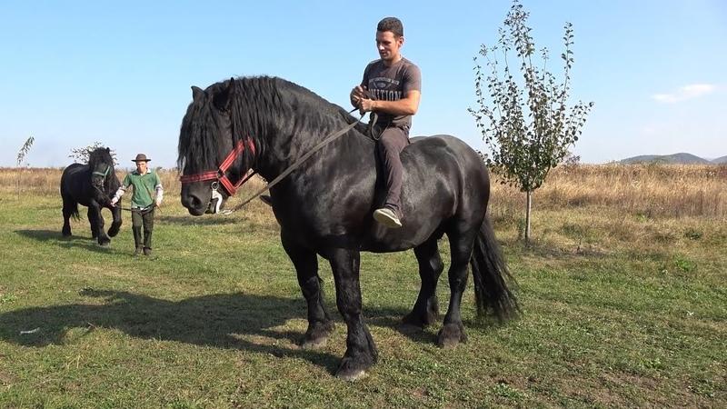 Pereche de negri   Armasarii lui Lupu Sor de la Orlat, Sibiu 2018 Nou