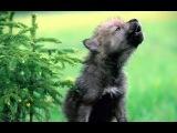 Волчата - 2013  на стихи O.Сулейменoвa и Nico777t  Муз. Nico777t  песня про волчицу и волчат