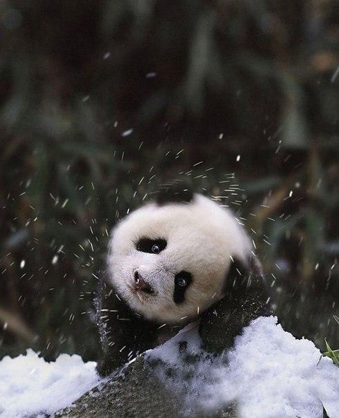 Детеныш панды впервые видит снег.