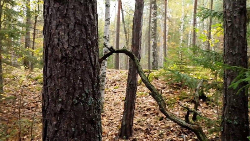 Кулебакский лес