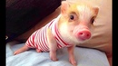 Funny and Cute Piggy Videos Compilation | Cutest Pigs