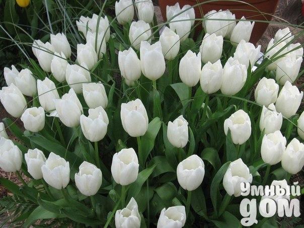 Уход за тюльпанами. Несколько полезных советов. Многие наверно замечали, что тюльпаны в садах быстро мельчают? Неправильный уход – вот основная причина этого явления. Тюльпаны, как и любое растение, любят уход. Дачники с энтузиазмом скупают в магазинах дорогие голландские и отечественные луковицы тюльпанов, но через пару лет бутоны на даче становятся мелкими и не такими красивыми, как раньше. Давайте посмотрим, какой же нужен уход за тюльпанами, чтобы бутоны не мельчали и луковицы всегда…