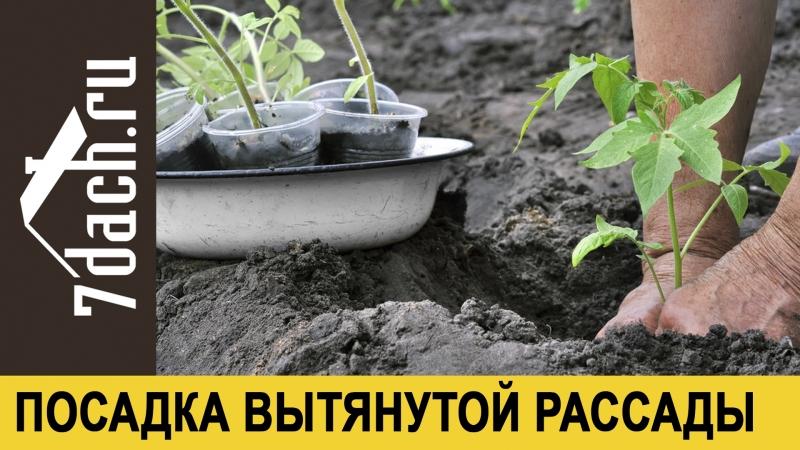 🍅 Как посадить переросшую рассаду томатов - 7 дач