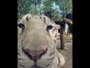 Видеопривет от тигра Фельдман Экопарк