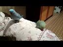 Брачные танцы ожереловые попугаев. Как самец кормит самку а она ему выписывает