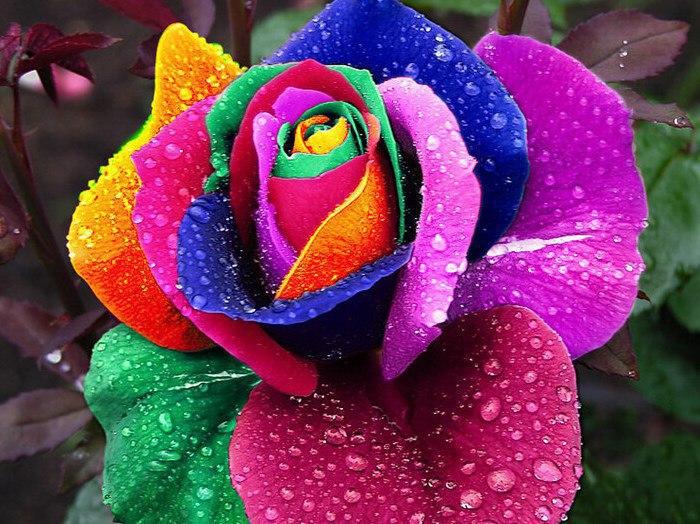 Семена разноцветных роз