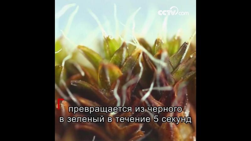 Пустынный мох научился получать воду из воздуха