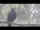Чёрный дрозд поёт и не только.  Павловск 21 апреля  +7 дождь
