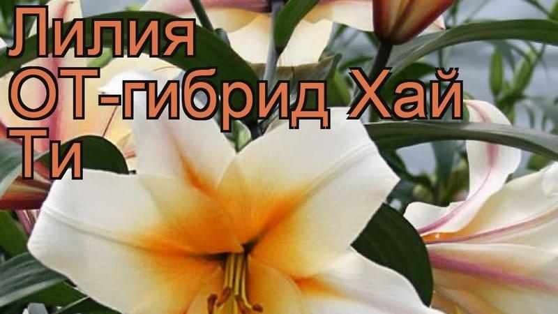 Лилия от-гибрид Хай Ти (lilium ot-hybrid high tea) 🌿 Хай Ти обзор: как сажать, луковицы лилии Хай Ти