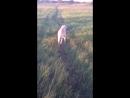 Лабрадор Вольт -прогулка в поле