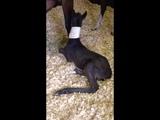 Синдром неонатальной дезадаптации у жеребят неврологические признаки (видео 1) Neonatal maladjustment syndrome in foals neurologic signs (video 1)