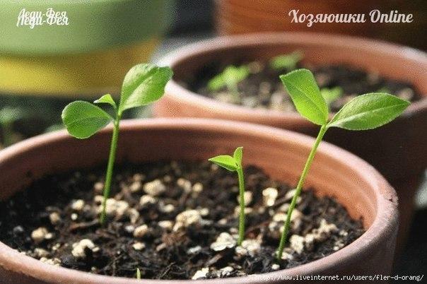 лайм из семян фото
