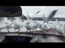 Птицы. Альфред Хичкок