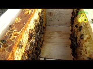 Очистка матки  от канди пчёлами