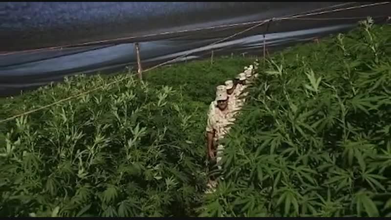 В Мексике военные обнаружили крупнейшую в истории плантацию марихуаны.