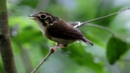 White-throated spadebill / Белогорлый ширококлювый мухоед / Platyrinchus mystaceus