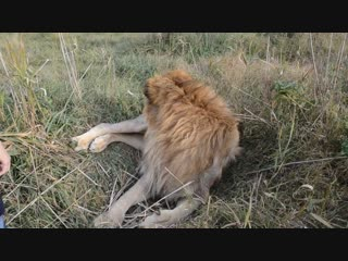 Лев Гек поднял лапу на вожака ! Золотой запас Тайгана - лев с янтарными глазами