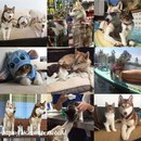 Три сибирские хаски из американского города Сан-Хосе выходили и приняли в свою стаю кошку…
