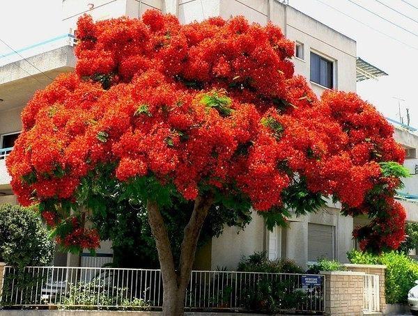 Делоникс Королевский. Он считается одним из красивейших цветущих деревьев.